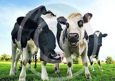 cow1-1.jpg